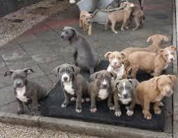 American staff, orta irilikte olan bir ırktır. American Pitbull Blue Line Welpen American Pit Bull Blue Line Puppies Sharjah 2020 02 05