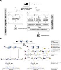 Subcloning Primer Design Golden Mutagenesis An Efficient Multi Site Saturation