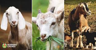 31 Goat Breeds For Milk Meat Fiber Youll Need On The Farm