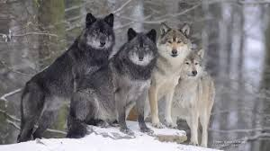 Wolf Species Size Chart What Is The Largest Wolf Species In The World Quora