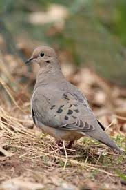 Mourning Dove Age Chart How To Determine The Age Of A Mourning Dove Hatchling