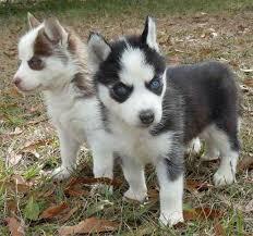 miniature husky puppies are cute little bundles of joy