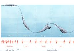 Blue Whale Size Chart Scientists Have Discovered Something Big In The Heart Of A
