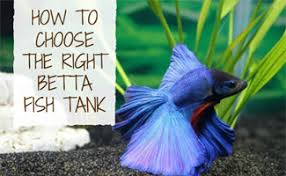 betta fish tanks. Wonderful Tanks Blue Betta Swimming For Fish Tanks 3