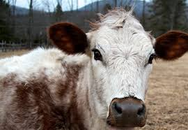dairy cow face. Fine Cow Inside Dairy Cow Face
