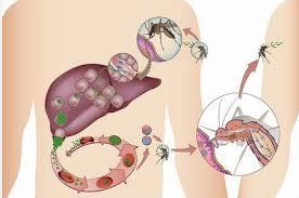 الملاريا وخطر الناموس وأهم أعراض الملاريا وكيف يمكننا الوقاية منها » مجلتك