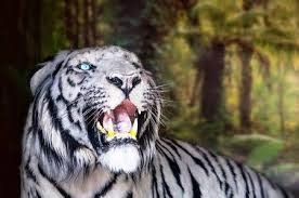 white tiger growling. Brilliant White The White Tiger Growls Big Canines Doff Stock Photo Picture And Royalty  Free Image Image 82172496 To Growling G