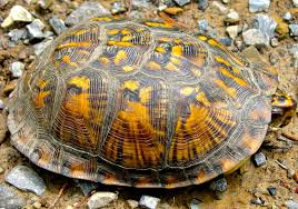 All About Box Turtles Welcome Wildlife