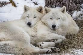 Wolf Body Language Chart Wolf Faqs International Wolf Center