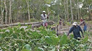 Image result for Desmatação  na Guiné-Bissau