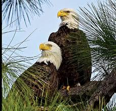 pritchett eagle cam. Modren Eagle Eagle Mates Harriett And M15 Are Back At Their Nesting Site Off Bayshore  Road In North Fort Myers The Southwest Florida Cam Is Up Running So  Intended Pritchett