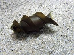 「ネコザメの卵」の画像検索結果
