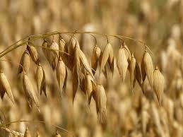「オーツ麦」の画像検索結果