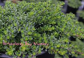 with its small round leaves and diminutive habit it stays under a foot tall and slowly spreads densely
