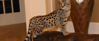 f2 savannah kittens for