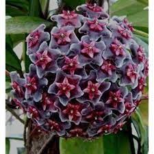 A flor de cera é uma espécie de planta trepadeira, mas que também pode ser usada como uma versão pendente, se cultivada em vaso suspenso. Flor De Cera Como Cuidar Tipos Floracao Onde Comprar E Preco