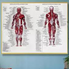Anatomy Chart Muscular System Muscular System Poster 66x51cm Anatomical Chart Human Body Anatomy Educationa
