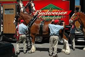 Image result for budweiser clydesdales