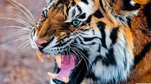 Free download Tiger Hd Wallpapers Tiger ...