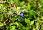tall bilberry