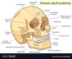 Biology Chart Medical Education Chart Of Biology Human Skull