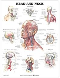 Neck Muscle Chart Head And Neck Anatomical Chart