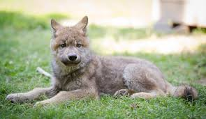 was your wolfdog s birthday in march april or may if the answer is no you are not in the possession of a high content wolfdog no exceptions bad