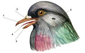 Контрольная работа по биологии Птицы Внешнее строение  hello html ccff75d png