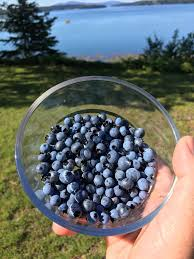 Image result for maine blueberries