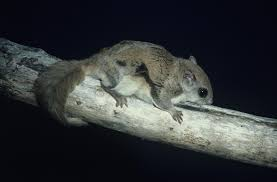 Keeping And Caring For Pet Southern Flying Squirrels