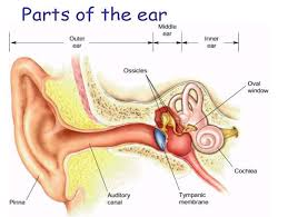 auditory ossicles diagram image gallery hcpr Diagram Of Human Ear For Class 8 auditory ossicles diagram gallery diagram of human ear for class 8