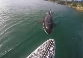 killer whale attacks on humans. Interesting Whale Luke Reilly Came Facetoface With The Orca Off Coast Of New On Killer Whale Attacks Humans I