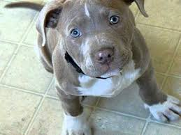 cute blue pitbull puppies. Simple Pitbull Cute Pit Bull Puppy  Sheu0027s 3 12 Now Intended Blue Pitbull Puppies N