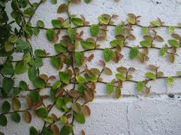 Unusual And Exotic Vine Seeds From Around The WorldWall Climbing Plants Australia