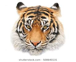 color tiger drawing.  Tiger Tiger Head Hand Draw And Paint Color On White Background Illustration In Color Drawing J