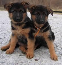 black and brown german shepherd puppies. Delighful German Throughout Black And Brown German Shepherd Puppies N