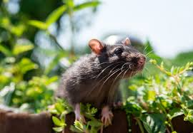 plants that keep rats away from your garden