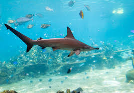 hammerhead shark habitat. Simple Hammerhead Sharks Belong To A Group Of Fish That Also Includes Rays And Skates These  Do Not Have Bones Instead Their Bodies Are Supported By Cartilage  To Hammerhead Shark Habitat
