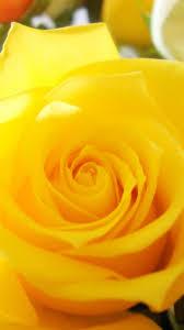 🥇 Flowers roses yellow rose wallpaper ...