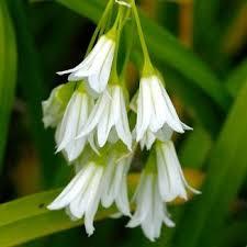 Garlic, Three-cornered Allium triquetrum Glaschrreamh
