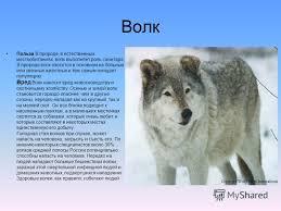 Презентация на тему Дикие животные польза и вред для человека  5 Волк