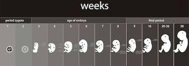 Pregnancy Percentile Chart Estimated Fetal Weight Growth Percentile Calculator