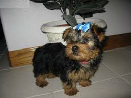 charming home raised yorkie puppies available 740 693 2210