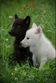 black wolf and white wolf pups. Contemporary Pups Cutest Little Black And White Wolf Cubs By Harvey Wildlife Photographyaww Intended Black Wolf And White Pups Pinterest