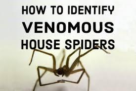 Spider Identification Chart California How To Identify Venomous House Spiders Dengarden