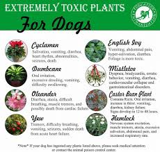 toxic to dogs