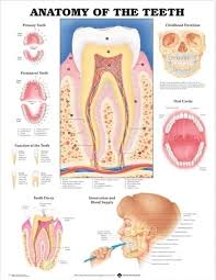 Internal Human Anatomy Chart Anatomy Of The Teeth Mouth Poster 66x51cm Anatomical Chart Human Body Doctor