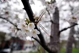 where to find cherry blossoms in