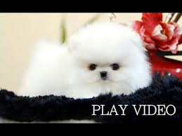 white teacup puppies for sale. So Cute Teacup White Pomeranian For Sale Puppy Inside Puppies