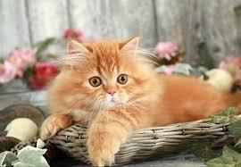 orange persian cat. Contemporary Orange Doll Face Rug Hugger Throughout Orange Persian Cat N